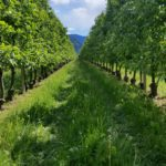 Obstkulturen bei Leifers